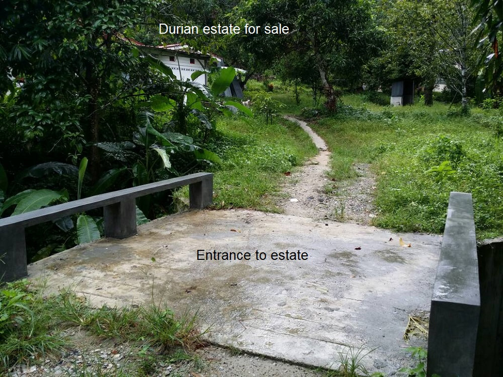 Durian Orchard For Sale Durian Tree Estate In Balik Pulau